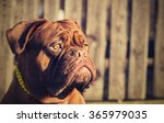 Dogue De Bordeaux Head....