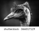 Emu   Black And White Head Sho...