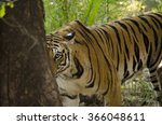 A Female Bengal Tiger Looking...