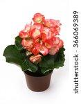 Pink Begonia Flower In Flower...