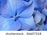 Tiny petals of blue hydrangea blossom.  Extreme macro with shallow dof. - stock photo