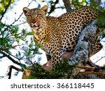 leopard on a tree. national... | Shutterstock . vector #366118445