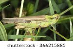 Small photo of Chorthippus sp. (acridid grasshopper)