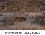 Chital   Cheetal  Spotted Deer...
