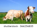 cows on a summer pasture | Shutterstock . vector #366256835
