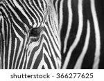 Grevy's Zebra  Equus Grevyi ...