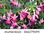 Fuchsia Flowers Blooming...