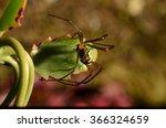 latin american spider