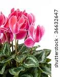 pink cyclamen | Shutterstock . vector #36632647