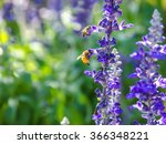 Two Bee On Lavender Flowers...