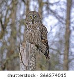 Great Gray Owl Perched On Tree...