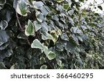 Small photo of Italy, american ivy in a garden