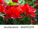 Red Azaleas In The Beautiful...