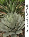 Small photo of Parry's Agave (Agave parryi) is a slow-growing agave native to New Mexico. Its range extends into Southeast Arizona
