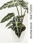 Small photo of Alocasia,isolated flower in pot