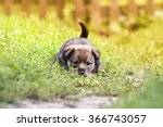 Stock photo cute puppy playing in the grass 366743057