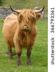 Small photo of Highland aberdeen angus cow grazing green grass on a farm in Scotland