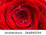 Stock photo the middle of a red rose with water drops on petals close up flower background 366840194