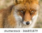 the eyes of a red european fox | Shutterstock . vector #366851879
