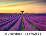 Lavender Flowers Blooming Fiel...