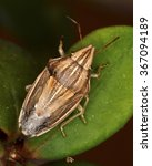 Small photo of Aelia acuminata, a species of the Pentatomidae family (stink bugs and shield bugs)