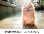 Pomeranian Spitz Smiling Watch...
