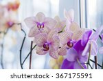 room orchids on a window sill | Shutterstock . vector #367175591