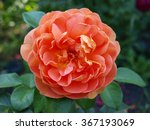 Elegant Peach Colored Rose...