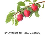 red plums on the branch... | Shutterstock . vector #367283507
