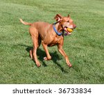 viszla dog running with ball in mouth - stock photo