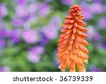 "Soft abstract image of ""red hot poker"" or ""torch lily"" with flower garden in background.  Close-up with extremely shallow dof.  Selective focus on center portion of spike. - stock photo"