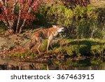 Coyote  Canis Latrans  Walks...