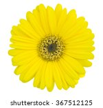 Stock photo yellow gerbera flower isolated on white with clipping path 367512125
