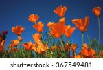 poppy  flower garden doi... | Shutterstock . vector #367549481