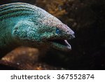 Giant Moray Eel With Open Mout...