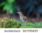 white thrush or tiger thrush... | Shutterstock . vector #367590659