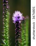 Small photo of Gayfeather Plant (Liatris spicata)