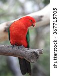 Small photo of Australian King Parrot (Alisterus scapularis) sitting on a branch in Kennett River at the Great Ocean Road, Victoria, Australia.