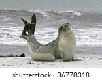 Young Southern Elephant Seal...