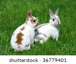 mini rex bunnies | Shutterstock . vector #36779401