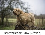 Norfolk Terrier On Tree Stump.