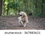 Golden Retriever Dog Running...