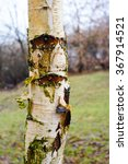 Loose And Damaged Bark Of A...