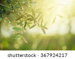olive tree with leaves  natural ... | Shutterstock . vector #367924217