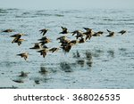 Flock Of Bar Tailed Godwits ...