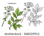 Lovage.  Levisticum Officinale...