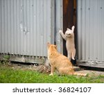 Stock photo kitten trying to climb a shed while its mother looks on 36824107