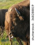 Small photo of Closeup of a North American Buffalo licking his lips