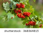 Branch Of Red Viburnum In The...