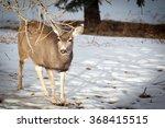 A Mule Deer Looking For Food I...